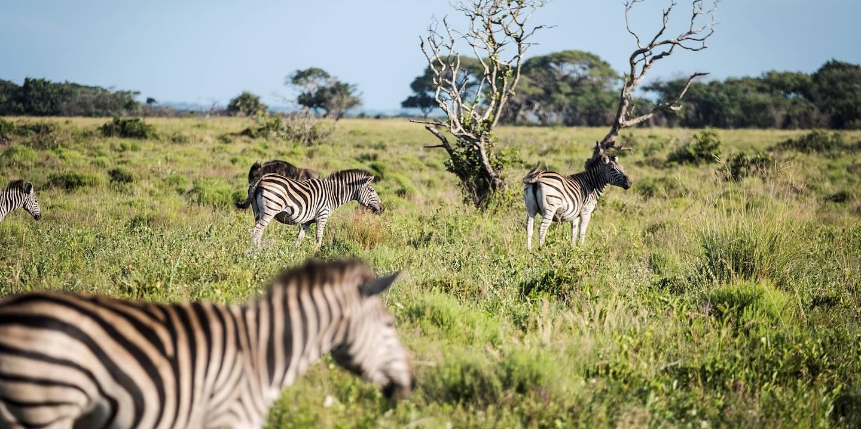 Troupeau de zèbres dans le parc de la zone humide d'iSimangaliso - Santa Lucia - KwaZulu-Natal - Afrique du Sud