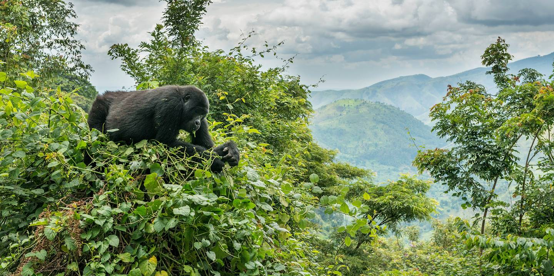 Gorille des montagnes dans la forêt impénétrable de Bwindi - Bwindi - Ouganda