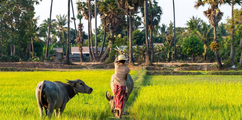 Rizières dans les environs de Siem Reap - Cambodge