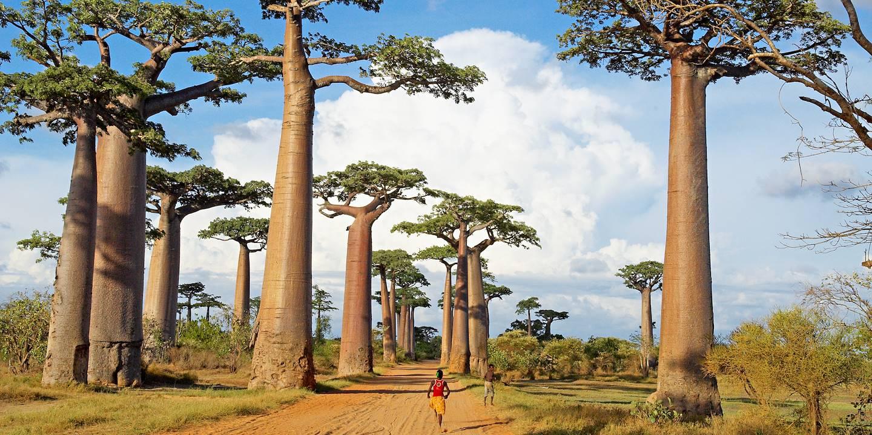 Allée des baobabs - Morondova - région du Ménabé - Madagascar