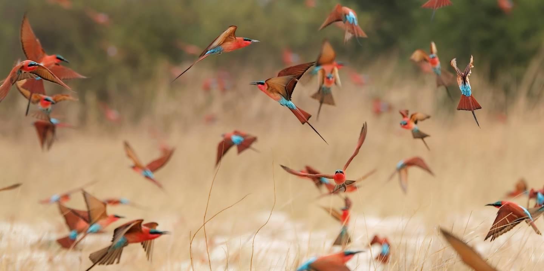 Guêpiers carmin - Afrique du Sud