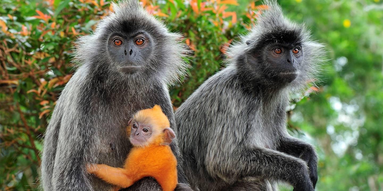 Singes feuille argentée - Parc naturel de Kuala Selangor - Malaisie
