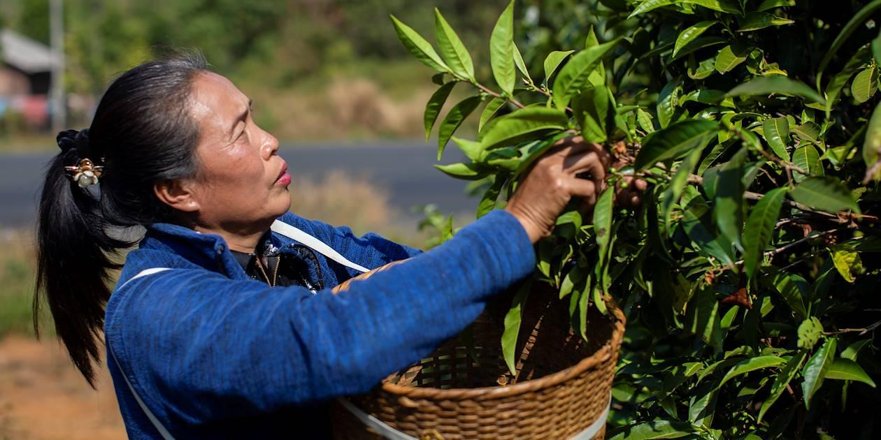 Plantations de café sur le Plateau des Boloven - Laos