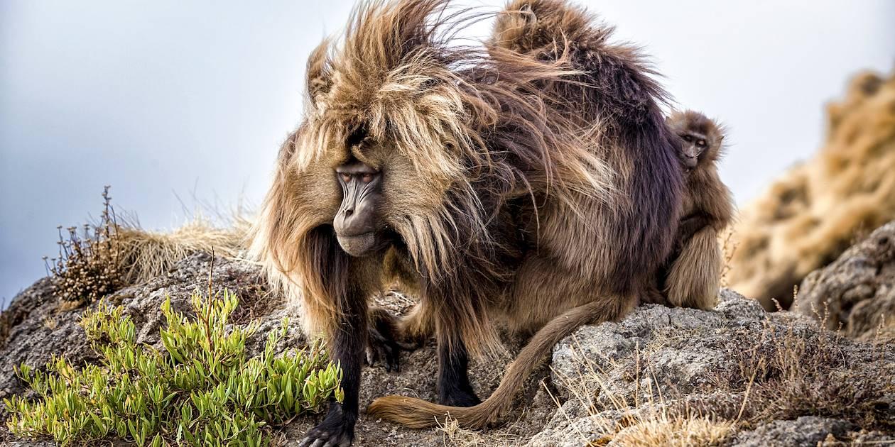 Singes Gélada dans le Parc du Simien - Ethiopie