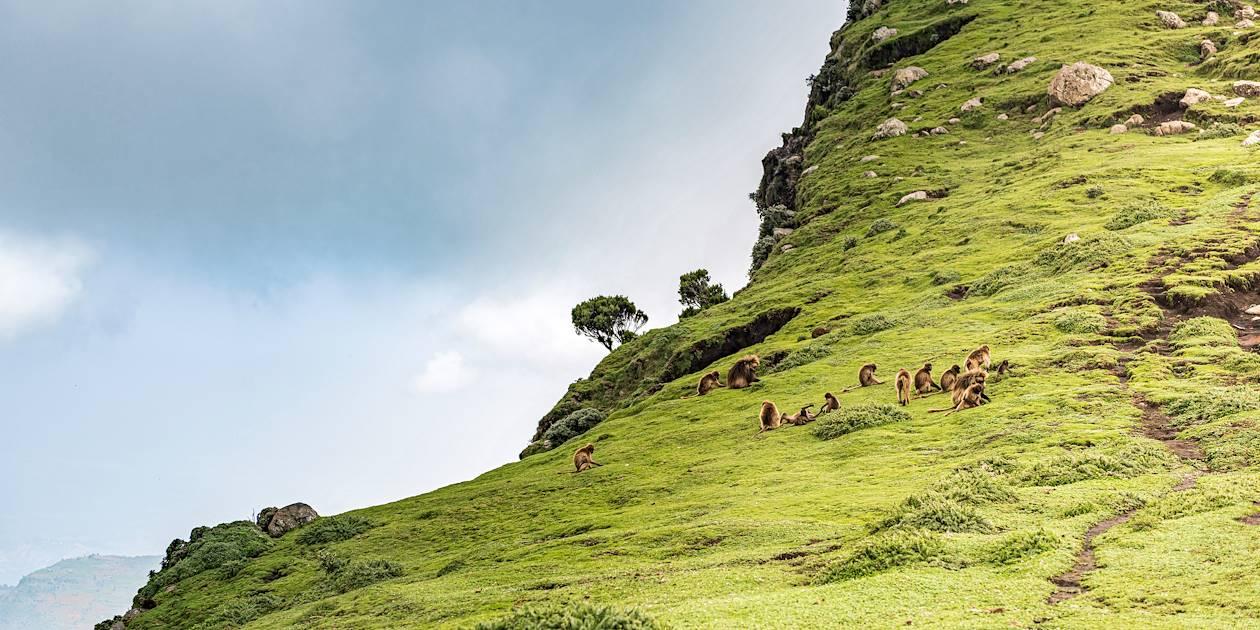 Singes Gelada sur les Monts Simien - Parc du Simien - Ethiopie