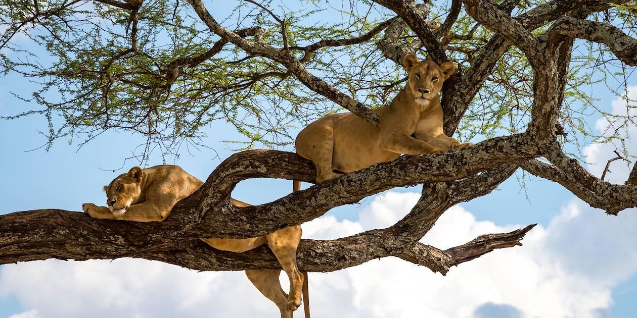 Lionnes se prélassant sur la branche d'un arbre - Parc du lac Manyara - Tanzanie