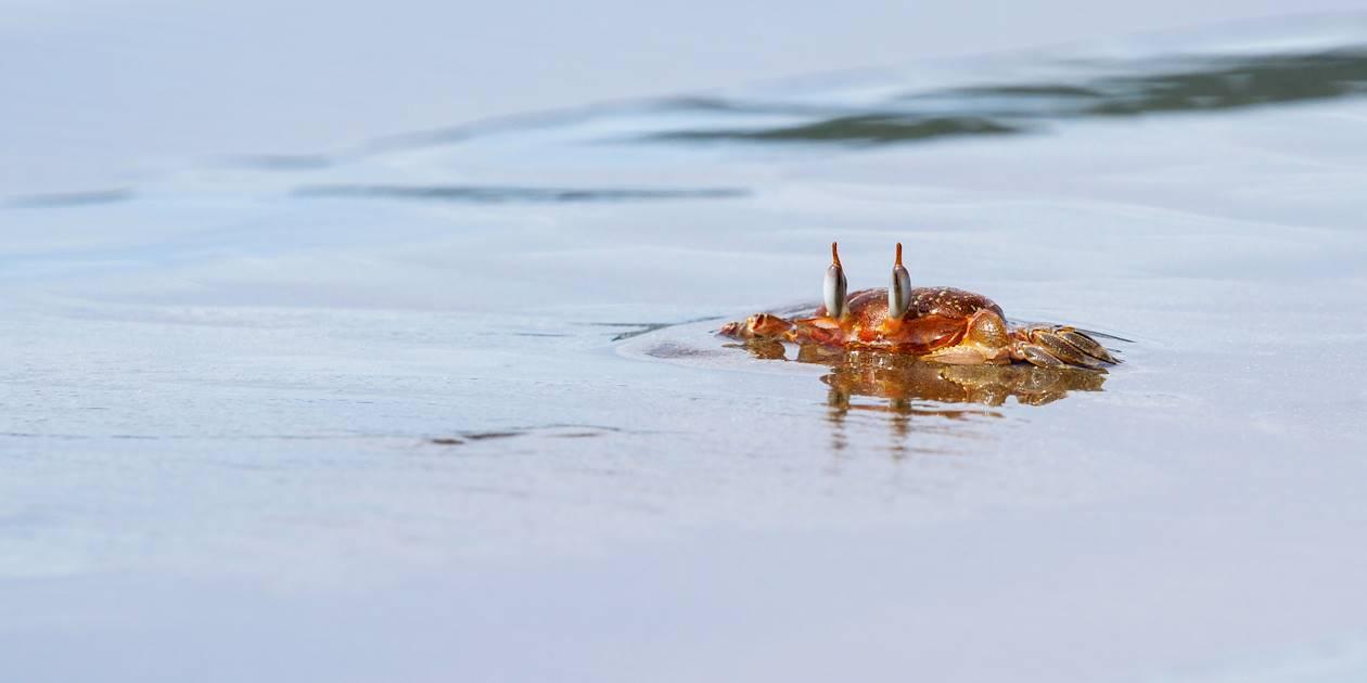 Crabe sur la plage - Costa Rica