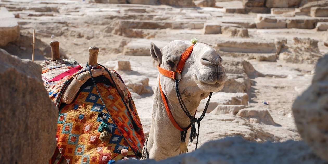 Chameau égyptien