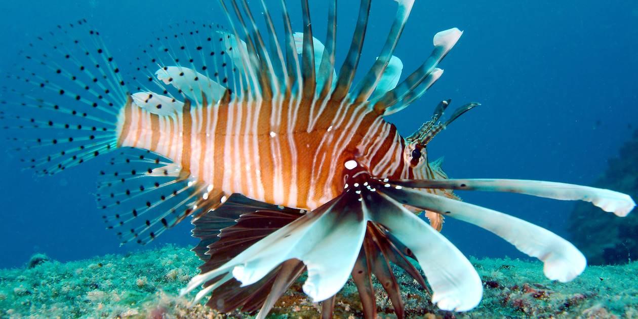 Poisson Lion - Seychelles