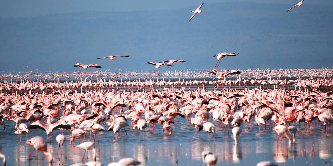 Flamand rose sur le lac Nakuru - Kenya