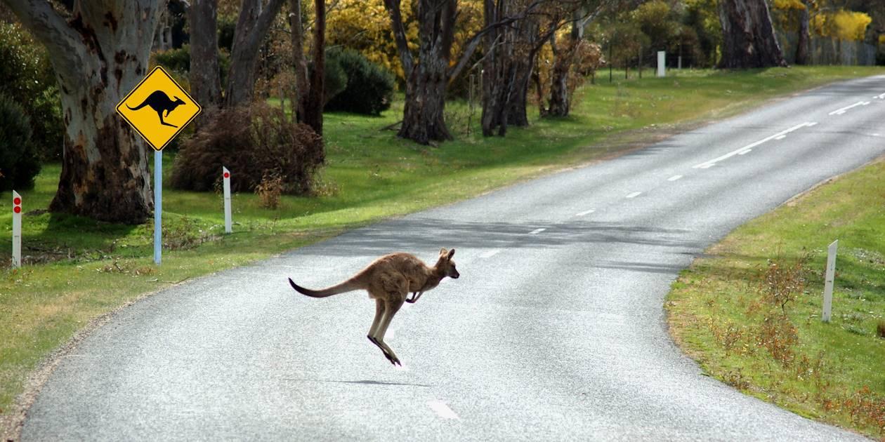 Kangourou - Australie