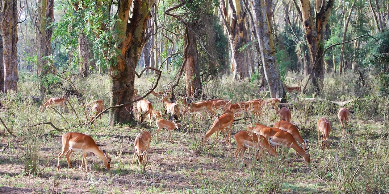 Impalas - Lac Nakuru - Kenya