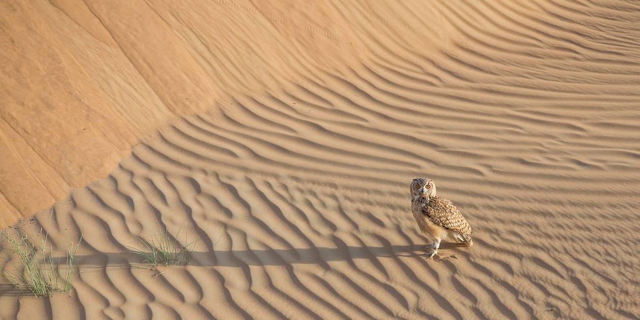 Chouette du désert - Emirats Arabes Unis