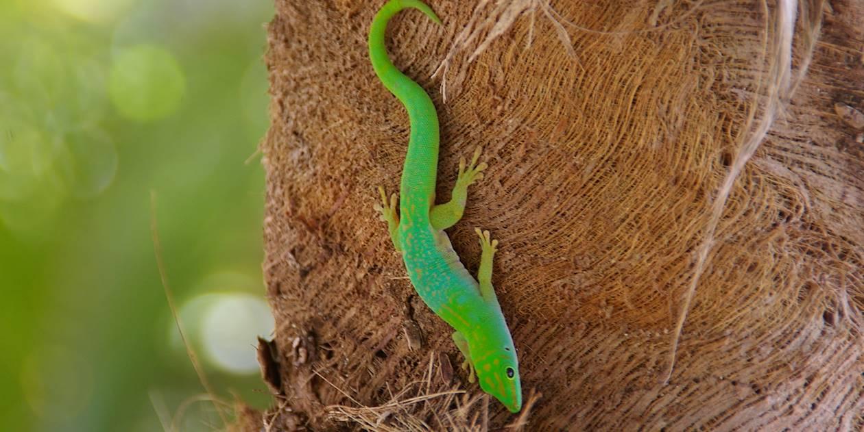 Gecko - Seychelles
