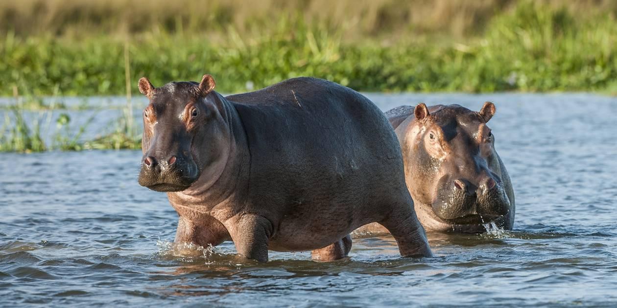 Hippopotames - Ouganda