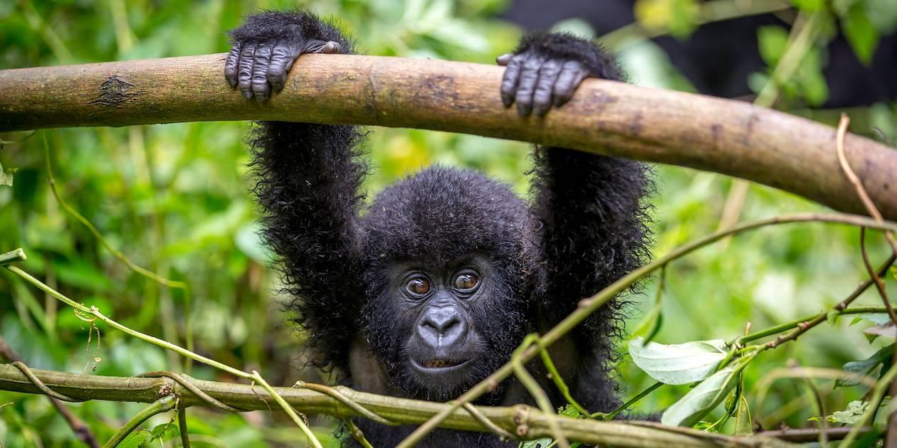 Jeune gorille - Ouganda