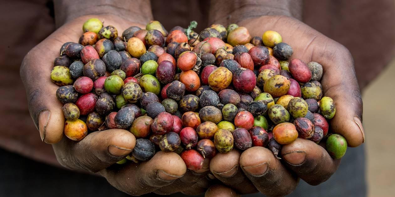 Grains de café mûrs - Ouganda