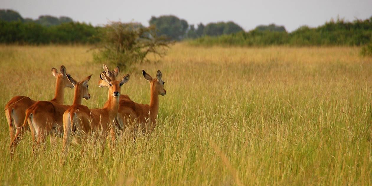 Troupeau de cobes de buffon au Parc National Queen Elizabeth - Ouganda