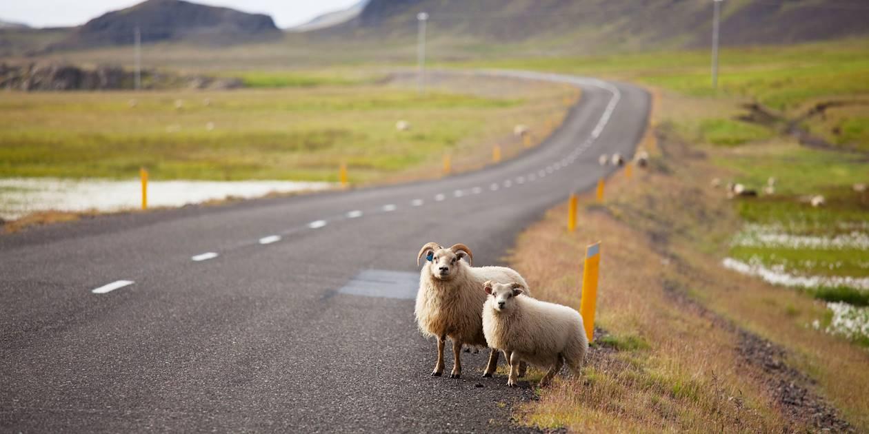 Moutons au milieu d'une route - Islande