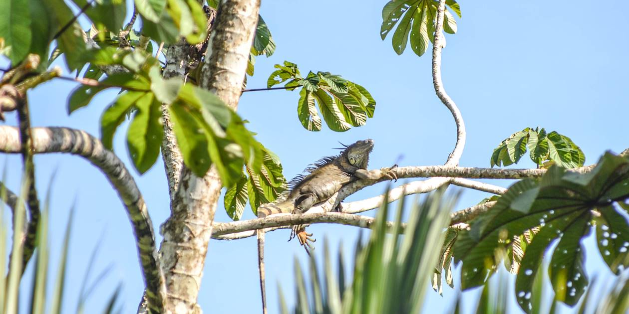 Iguane au soleil - Costa Rica