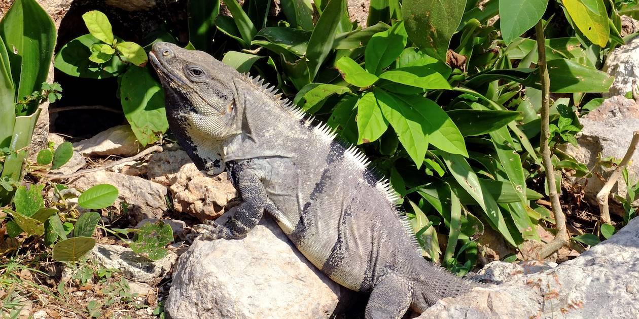 Iguane - Uxmal - Péninsule du Yucatan - Mexique