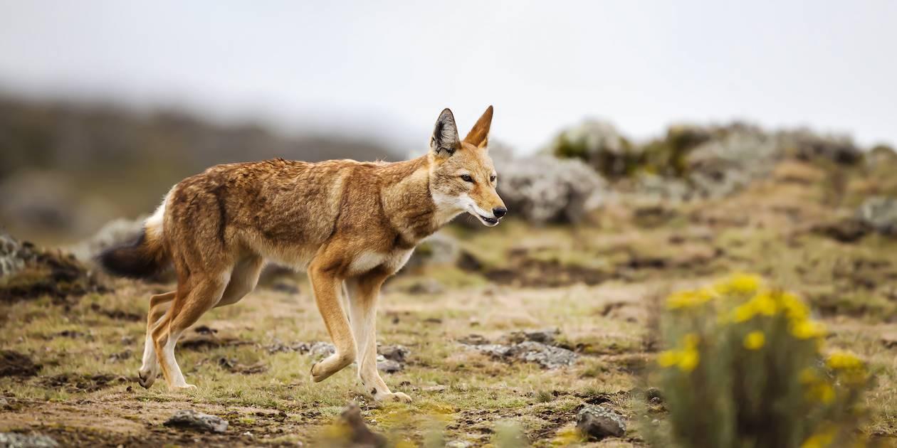 Loup d'Abyssinie dans le Parc du Simien - Ethiopie