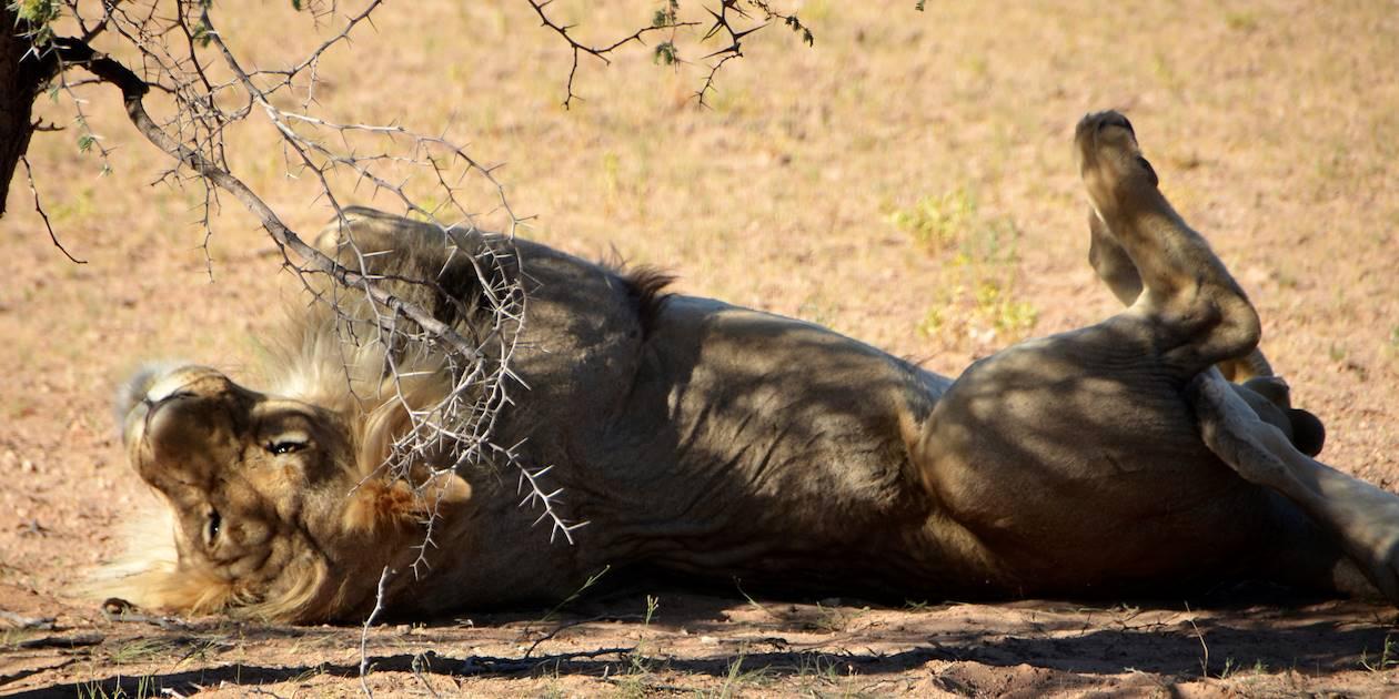 Lion dans le désert du Kalahari - Namibie