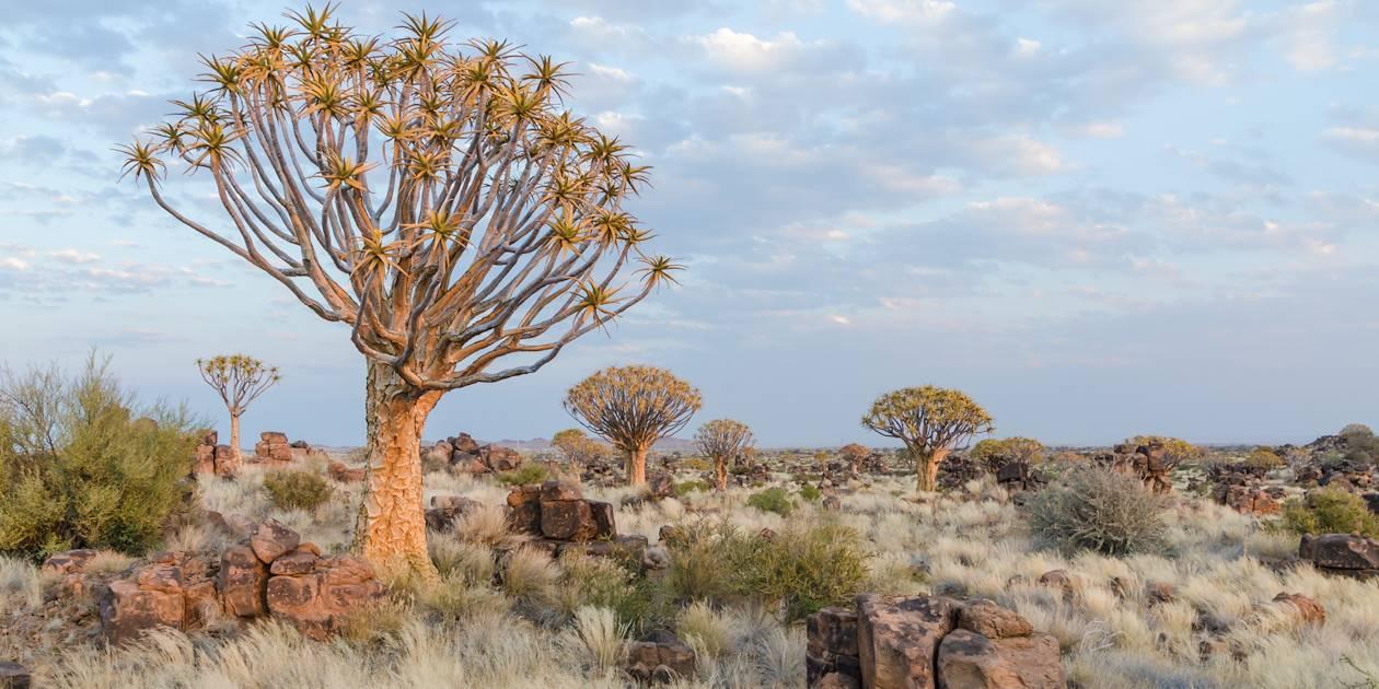 Arbres à carquois dans la forêt de Kokerboom - Namibie