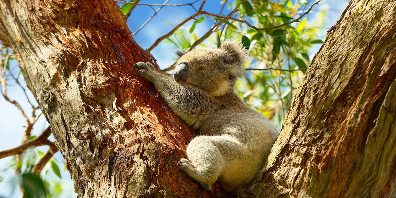 Koalas - Port Campbell - Australie