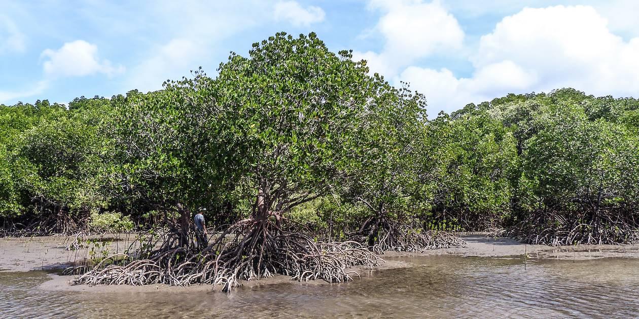 Mangrove - Queensland - Australie