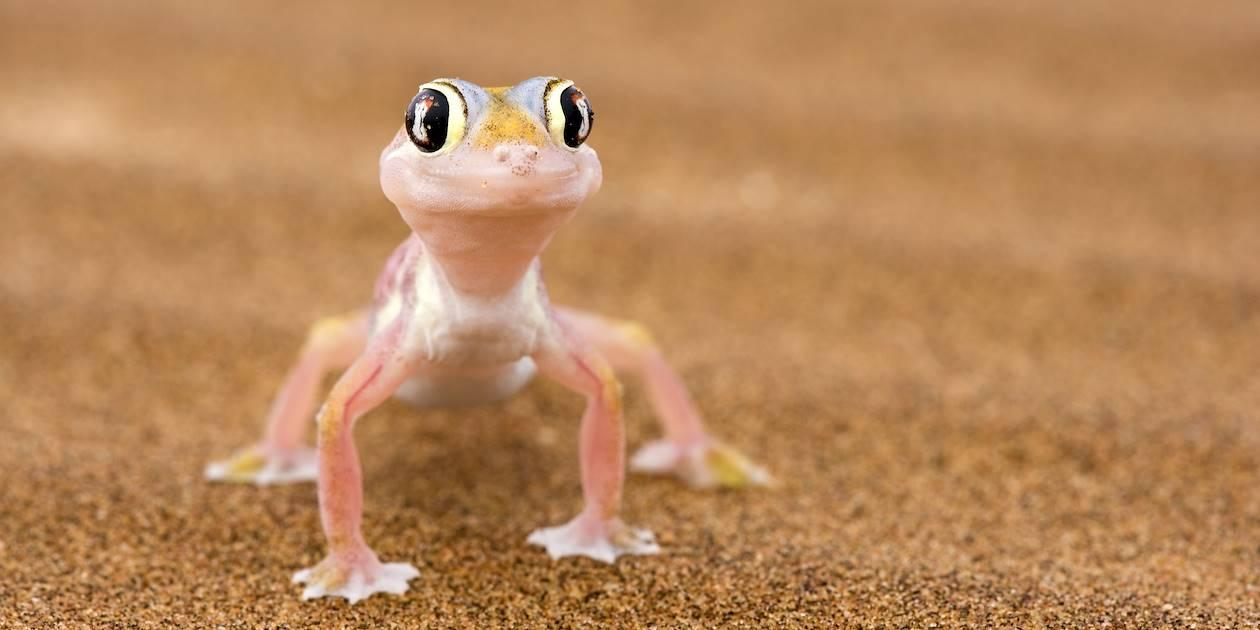 Jeune gecko - Namibie