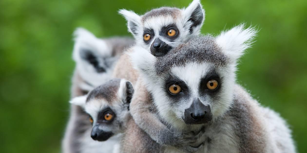 Famille lémuriens à queue annelée - Nouvelle Zélande