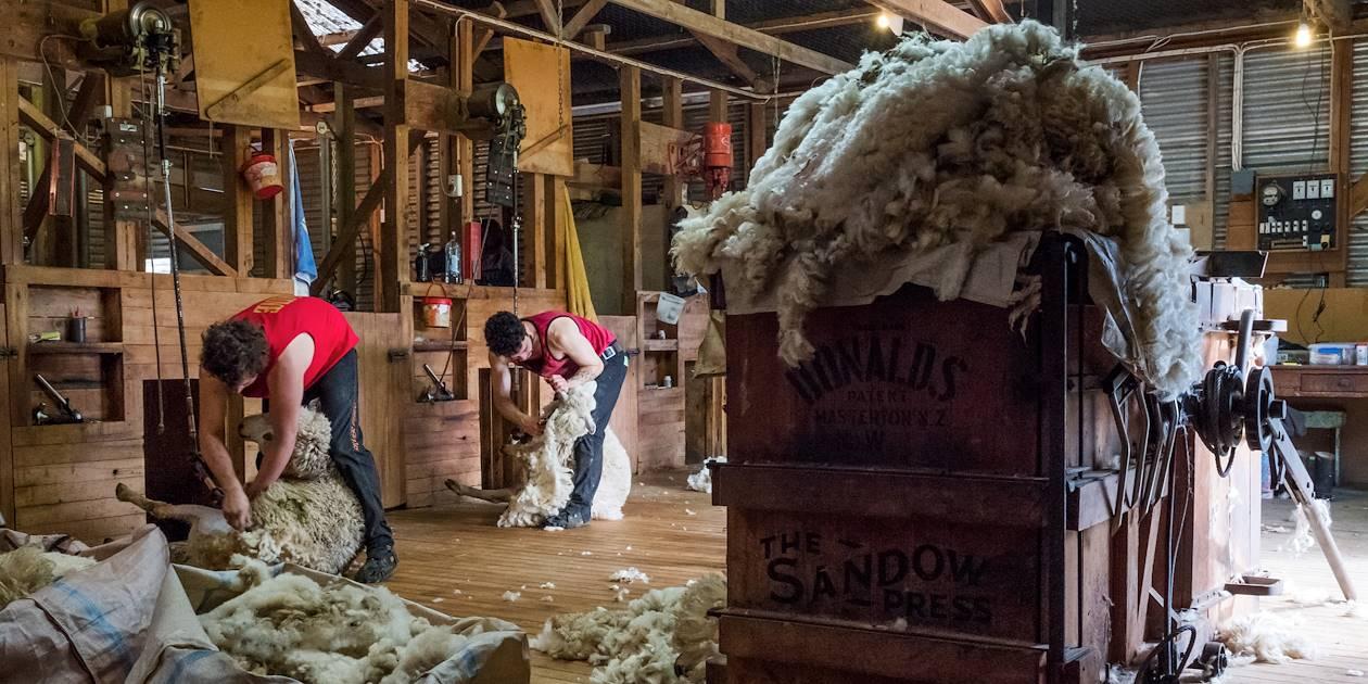 Tonte des moutons - Mairenui - Île du Nord - Nouvelle Zélande