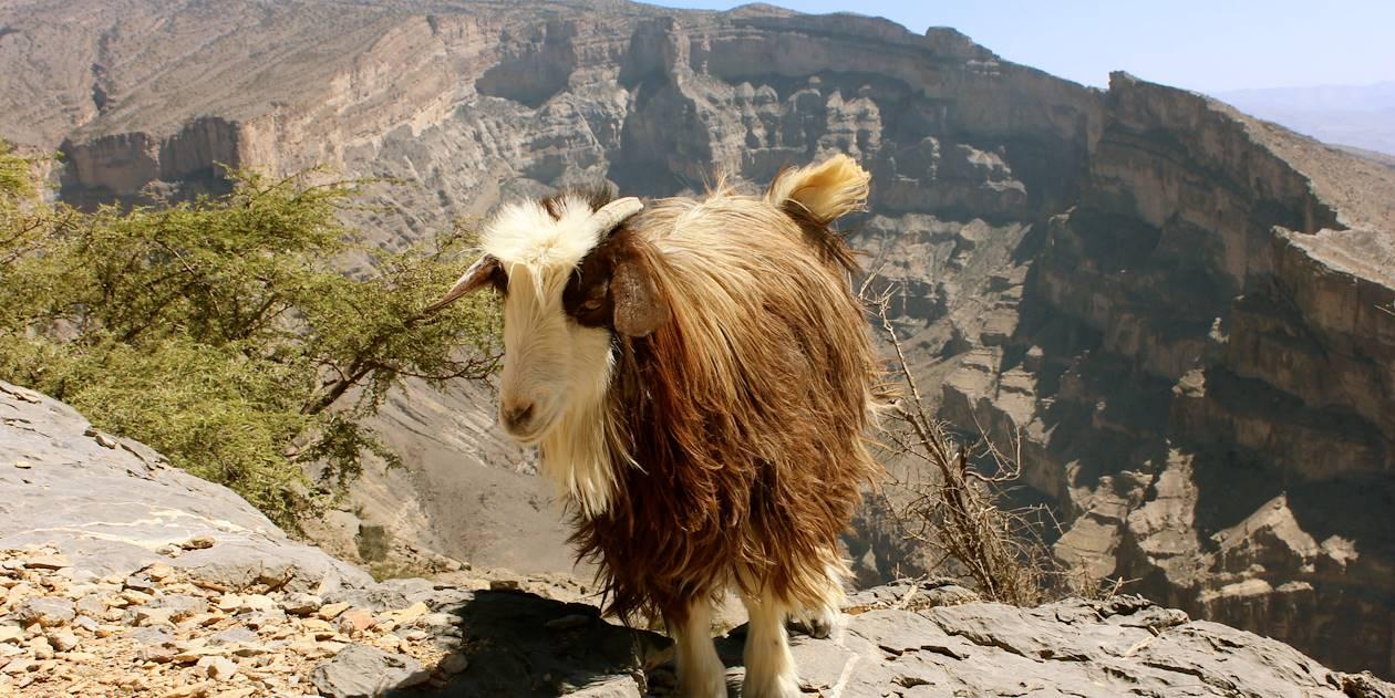 Chèvre au sommet du Grand Canyon sur le Djebel Shams - Oman