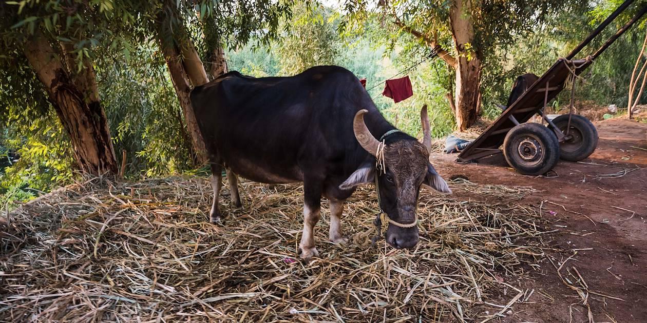 Vache dans la campagne de Louxor - Égypte