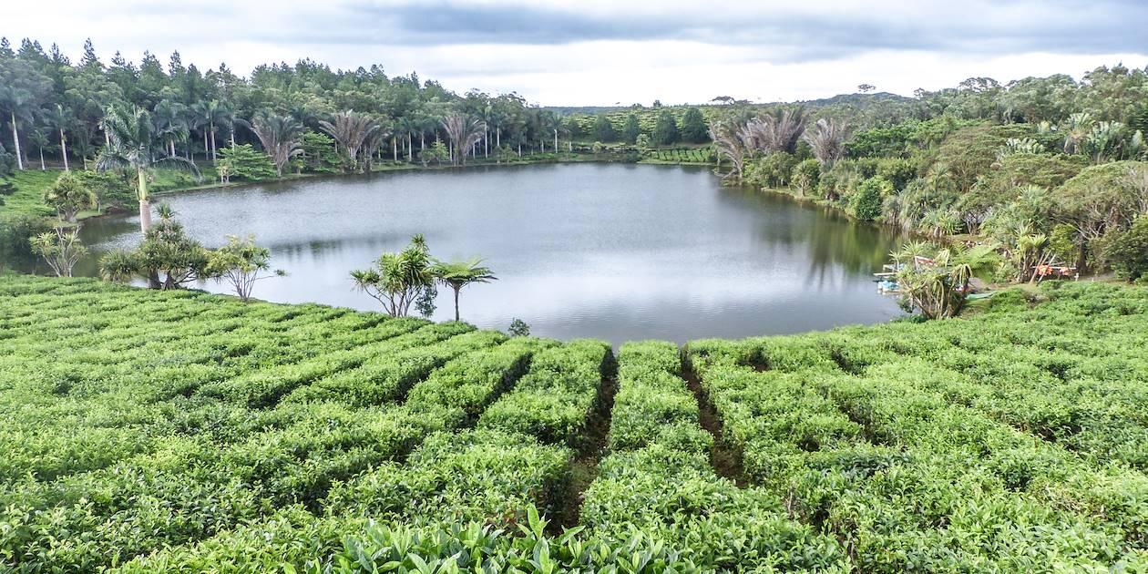 Plantation de thé à Bois Chéri - Ile Maurice