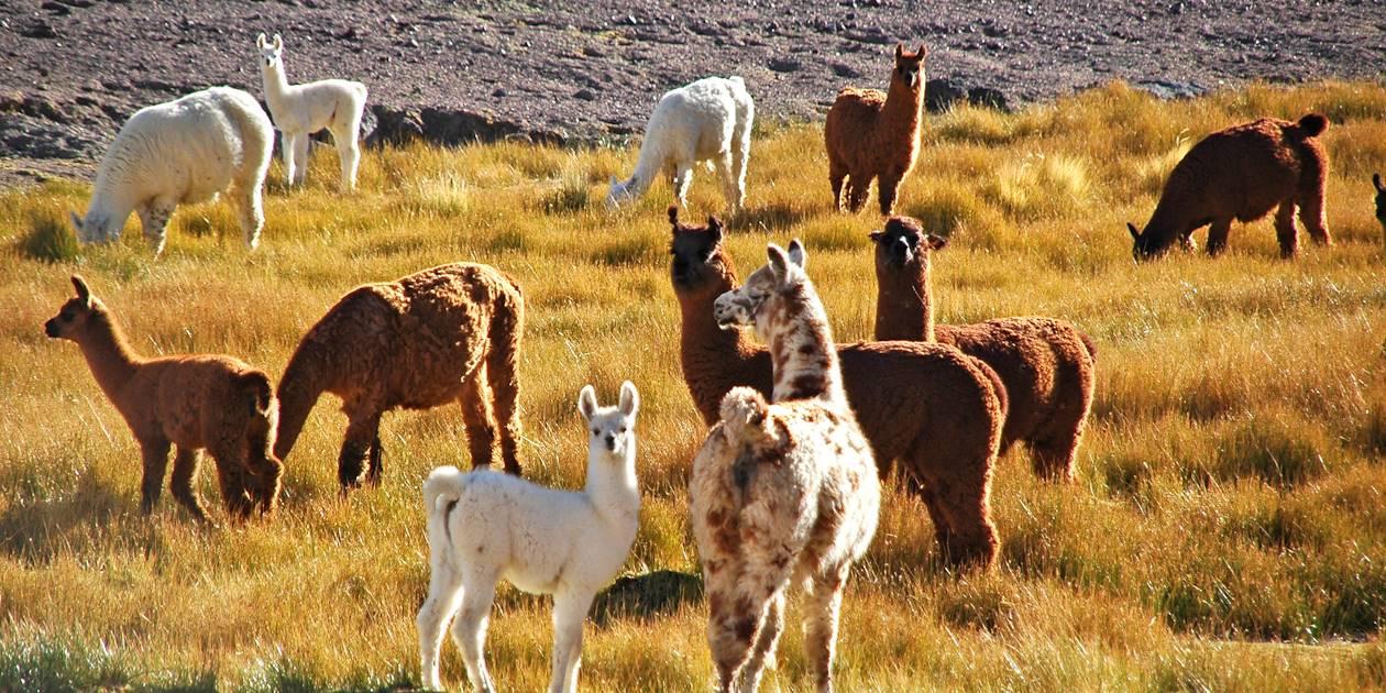 Lamas - Quebrada de las Conchas - Cafayate - Province de Salta - Argentine