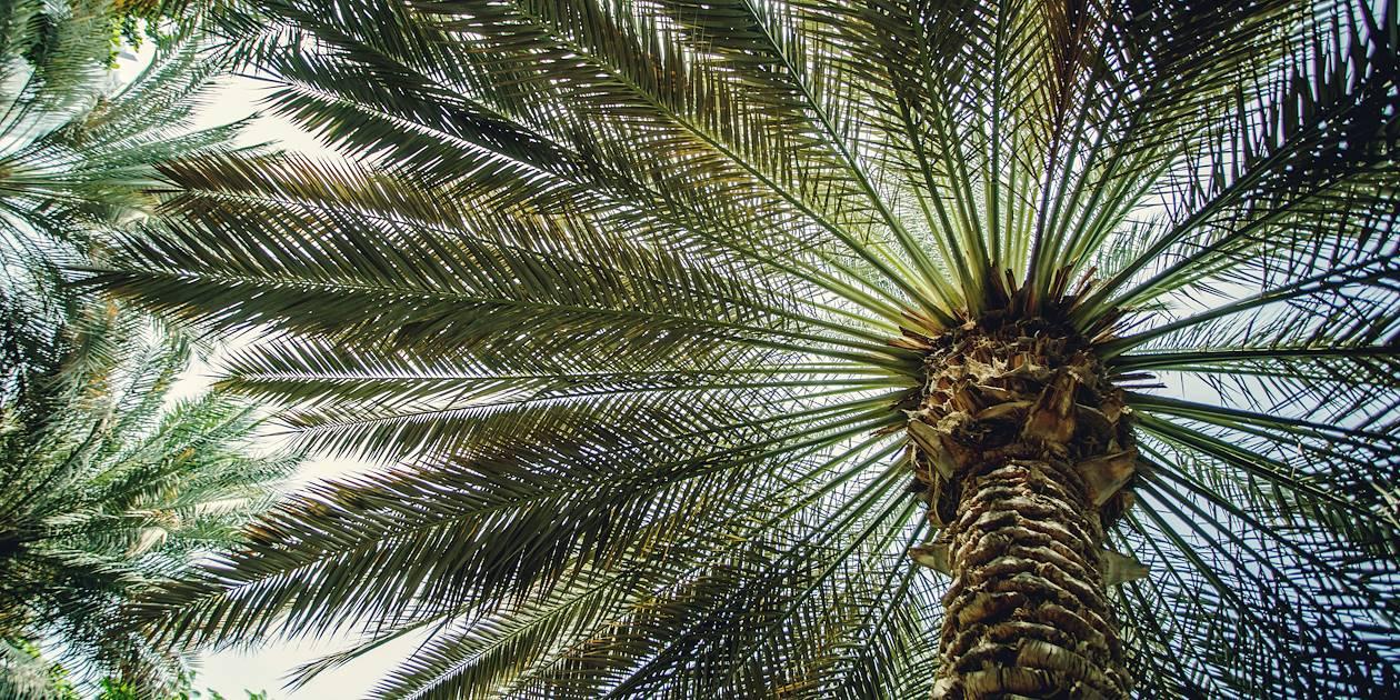 Palmier - Emirats Arabes Unis
