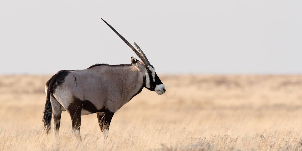 Oryx d'Arabie - Emirats Arabes Unis