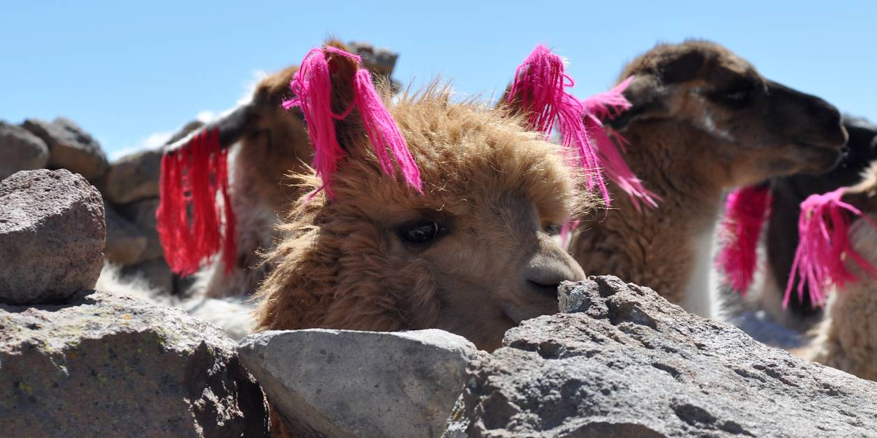 Lamas - Chivay - Province d'Arequipa - Pérou