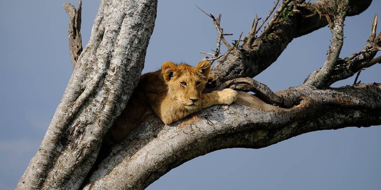 Lionne dans un arbre - Réserve nationale du Masai Mara - Kenya