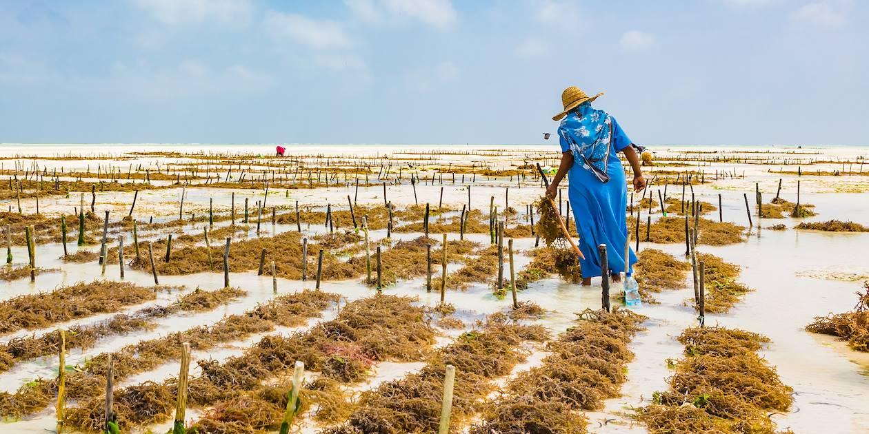 Culture des algues - Paje - Zanzibar Côte Est - Tanzanie