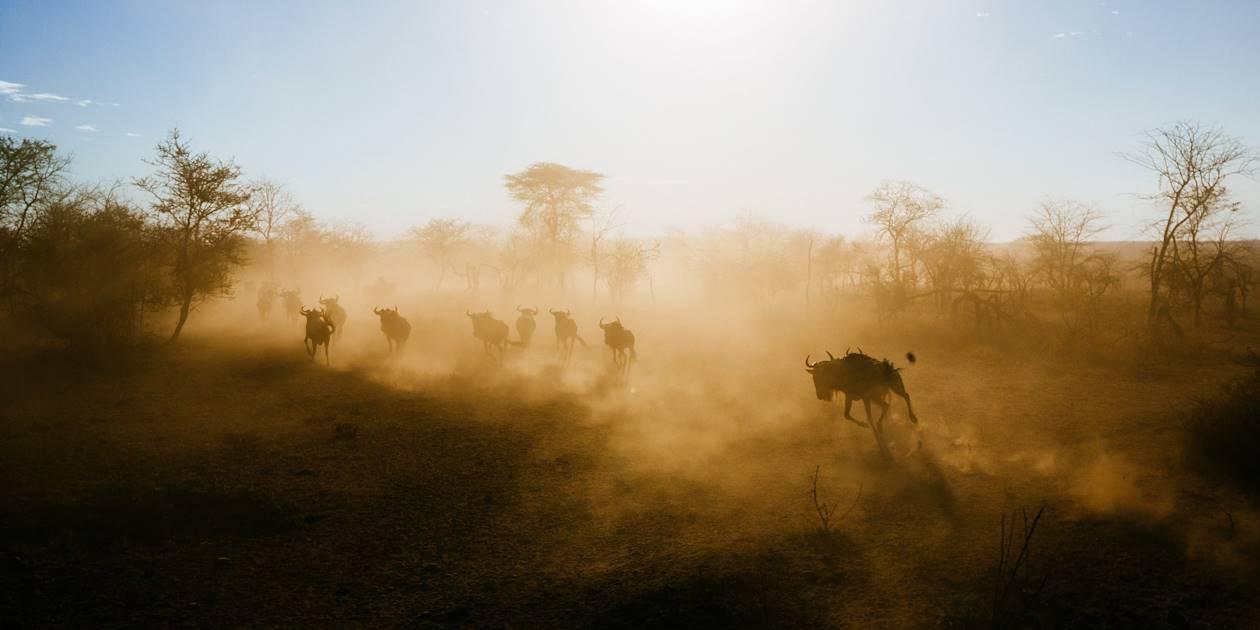 Troupeau de gnous au coucher du soleil  - Parc du Serengeti - Tanzanie