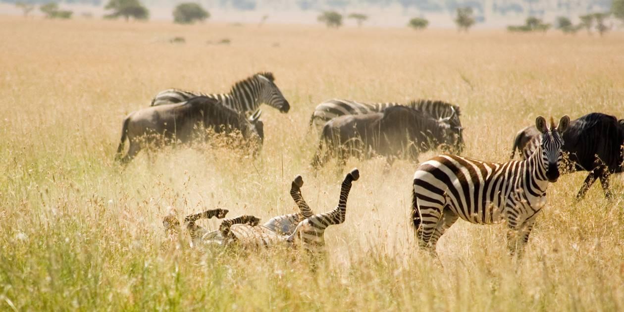 Zèbres - Parc du Serengeti - Tanzanie