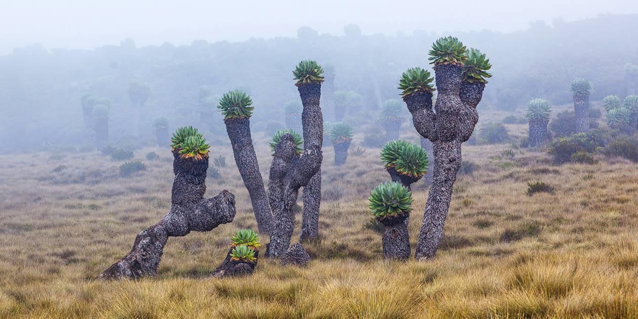 Séneçons géants du Kilimandjaro - Tanzanie