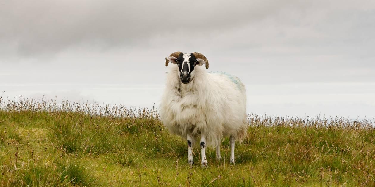 Mouton sur le Ring of Kerry - Comté du Kerry - Irlande