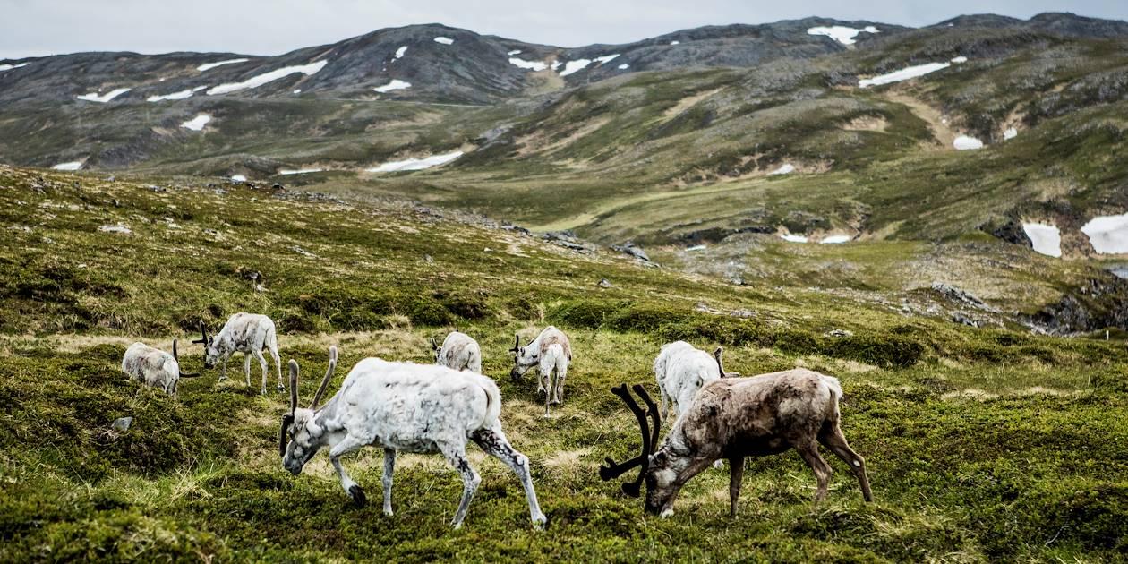 Troupeau de rennes dans le Nord de la Norvège