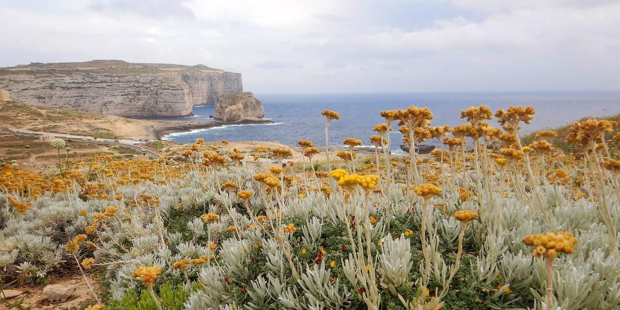 Fleurs endémiques de l'île de Gozo : l'Immortelle de Malte - Malte
