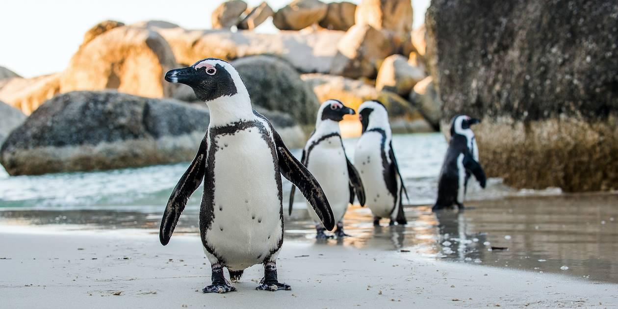 Manchots sur la plage Boulders Beach - Afrique du Sud