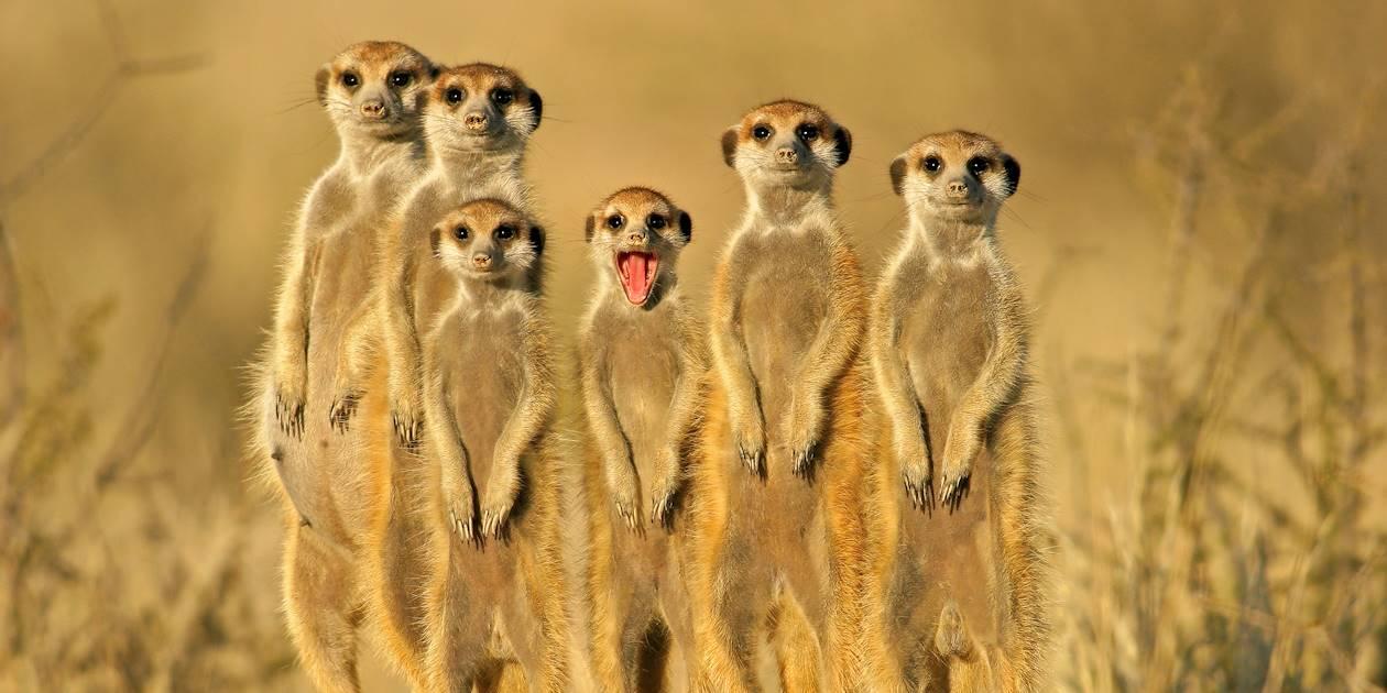 Famille de suricates - Afrique du Sud